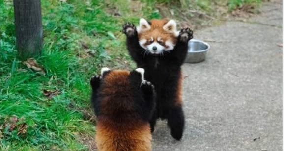 2943557 1.jpg?resize=1200,630 - 小熊貓舉手投降裝萌...不不不他們是在打架啊!超可愛模樣網友笑瘋