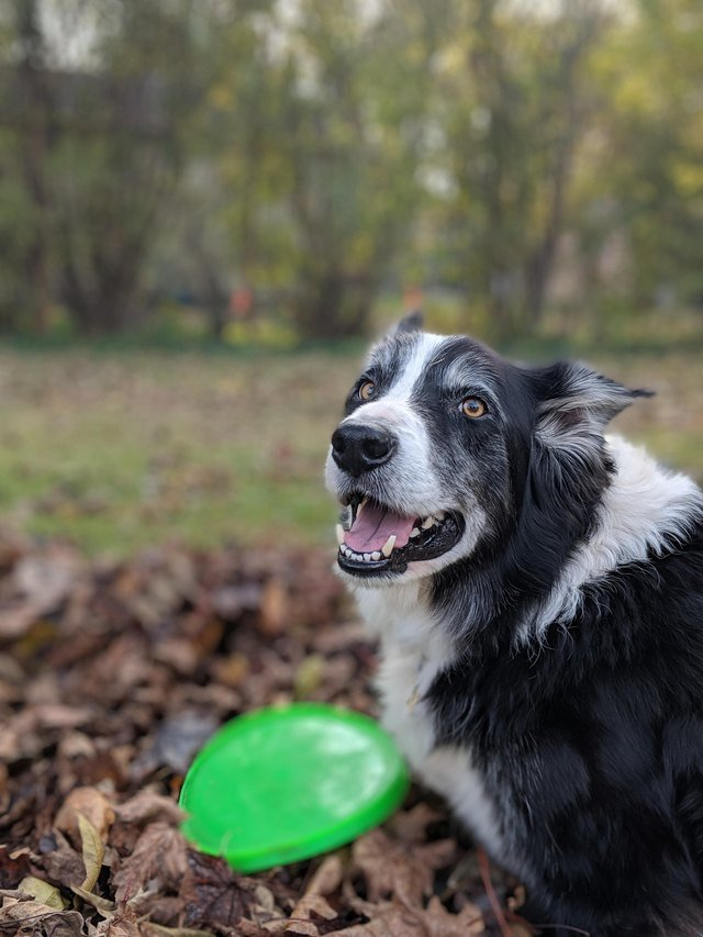 Excited dog looking at leaves and Frisbee