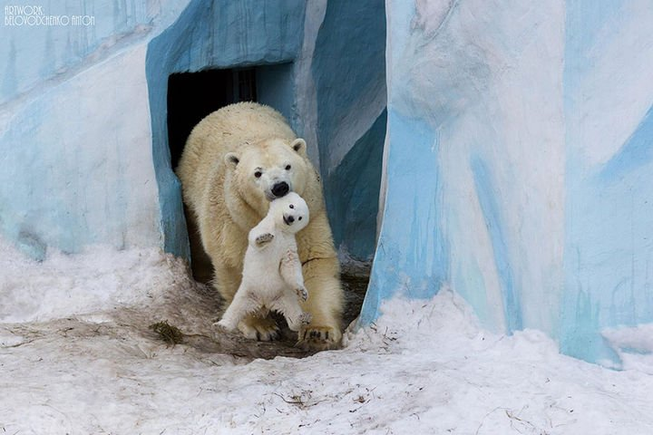 21 Animals and Their Young - Polar bear playing with her cub.