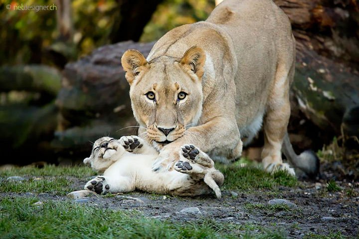21 Animals and Their Young - A beautiful lioness tickling her smiling cub.