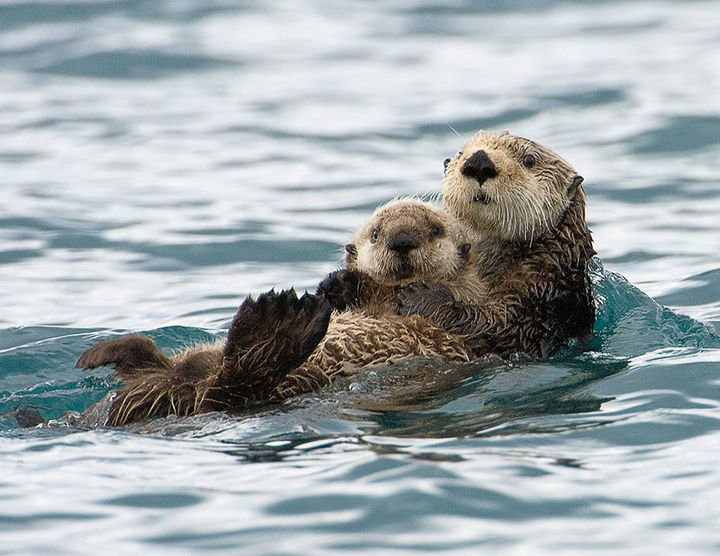 21 Animals and Their Young - Mother sea otter and her adorable baby.