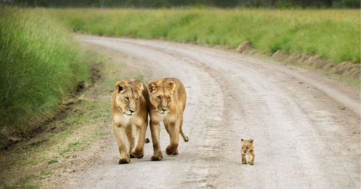 21 Animals and Their Young - Two lionesses watching over an adorable little cub.