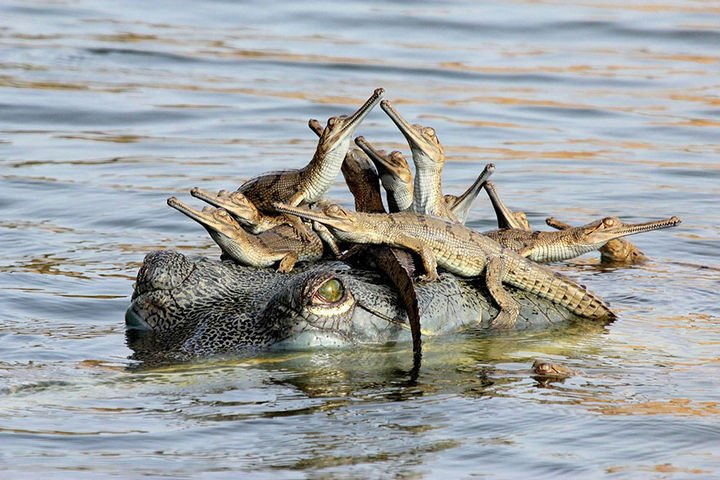 21 Animals and Their Young - Baby alligators spending time with mom.