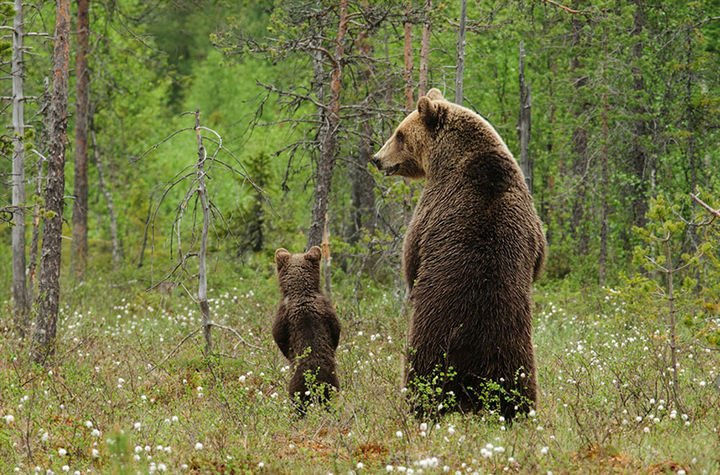 21 Animals and Their Young - A cute bear cub spending the day with his dad.