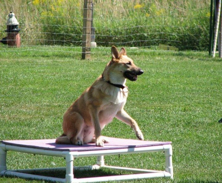 23 Rare Dog Breeds - Chinook.