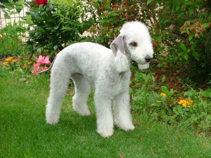 23 Rare Dog Breeds - Bedlington Terrier.