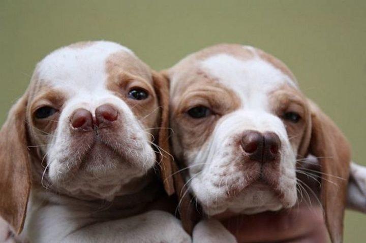 23 Rare Dog Breeds - Catalburun