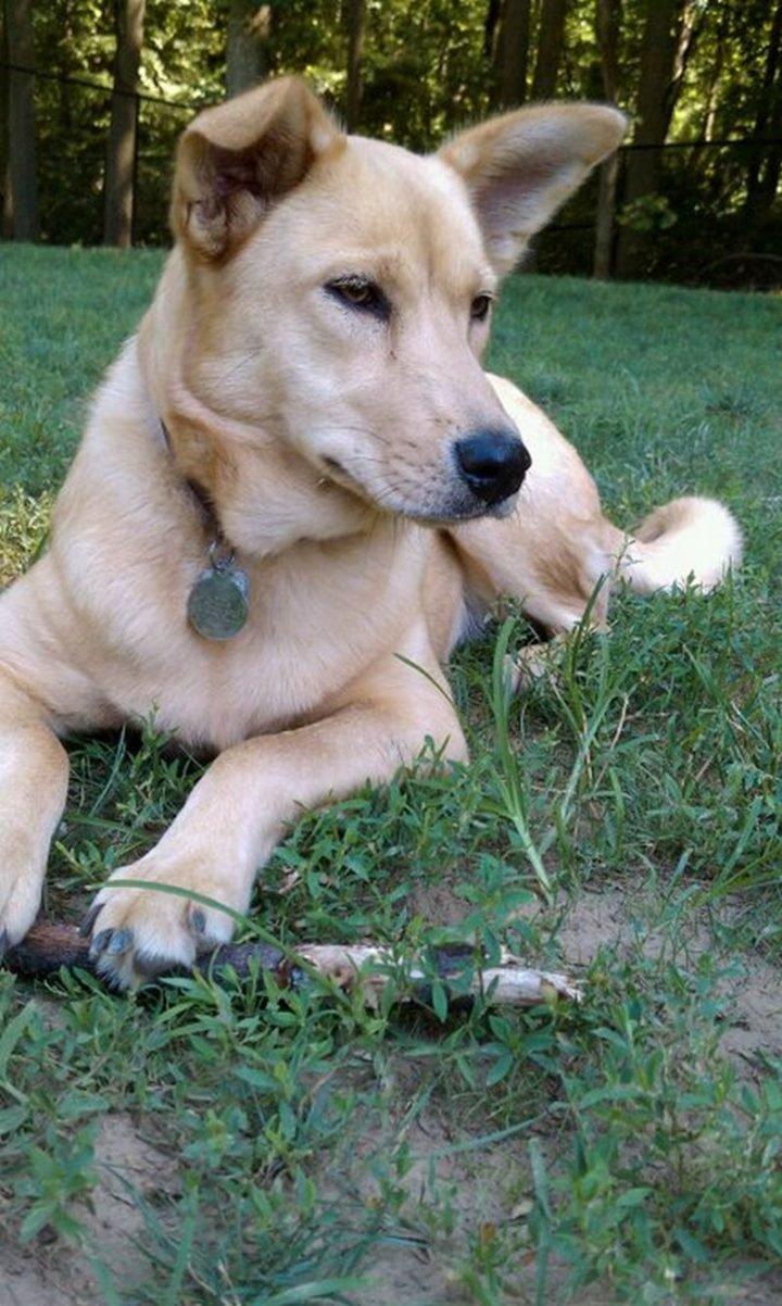 23 Rare Dog Breeds - Carolina Dog