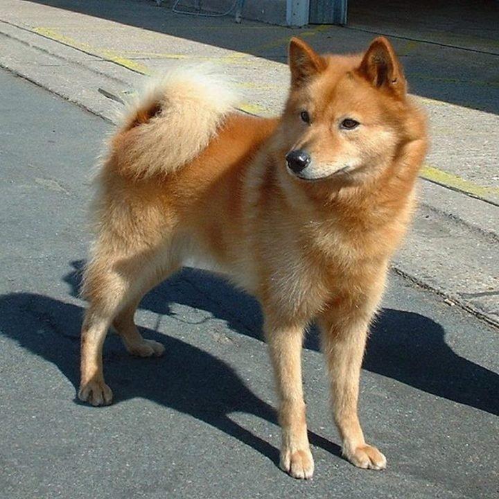 23 Rare Dog Breeds - Finnish Spitz