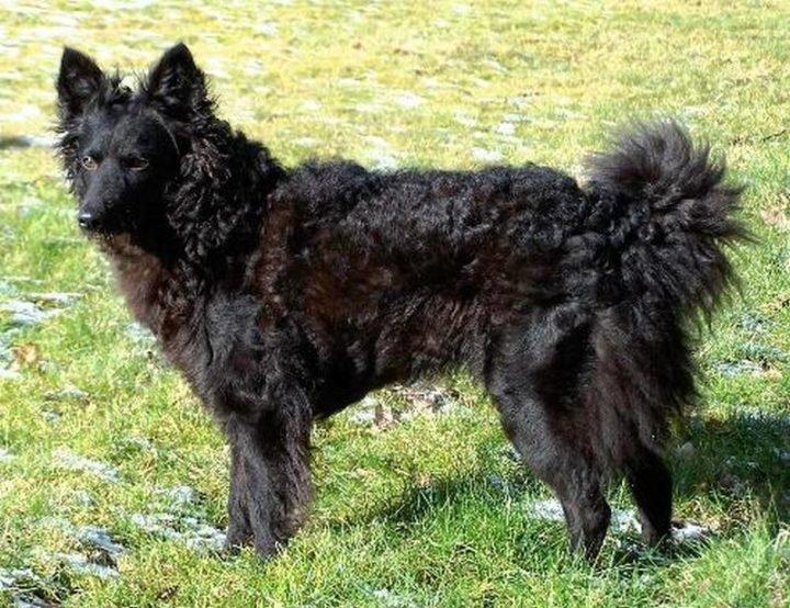 23 Rare Dog Breeds - Mudi.