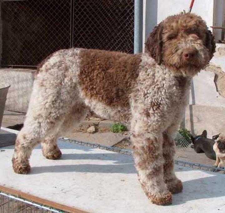23 Rare Dog Breeds - Lagotto Romagnolo.
