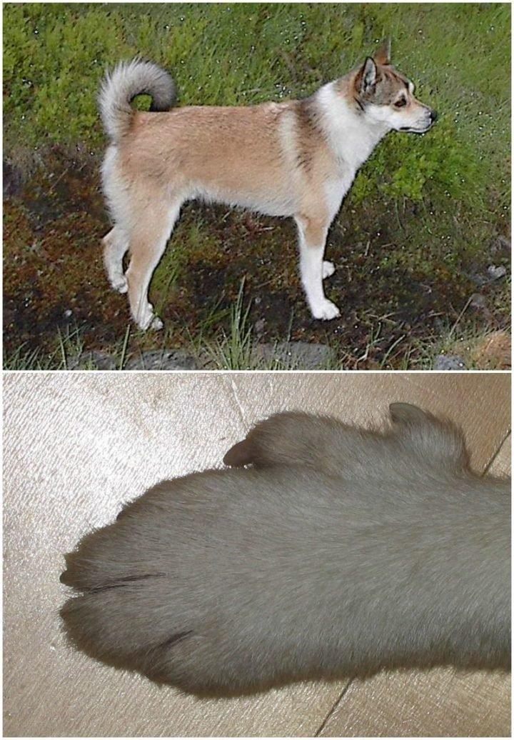 23 Rare Dog Breeds - Norwegian Lundehund.