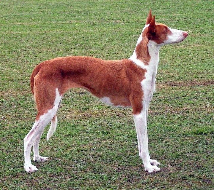 23 Rare Dog Breeds - Ibizan Hound.