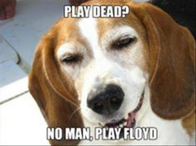"27 Funny Animal Memes - ""Play Dead? No man, play Floyd."""
