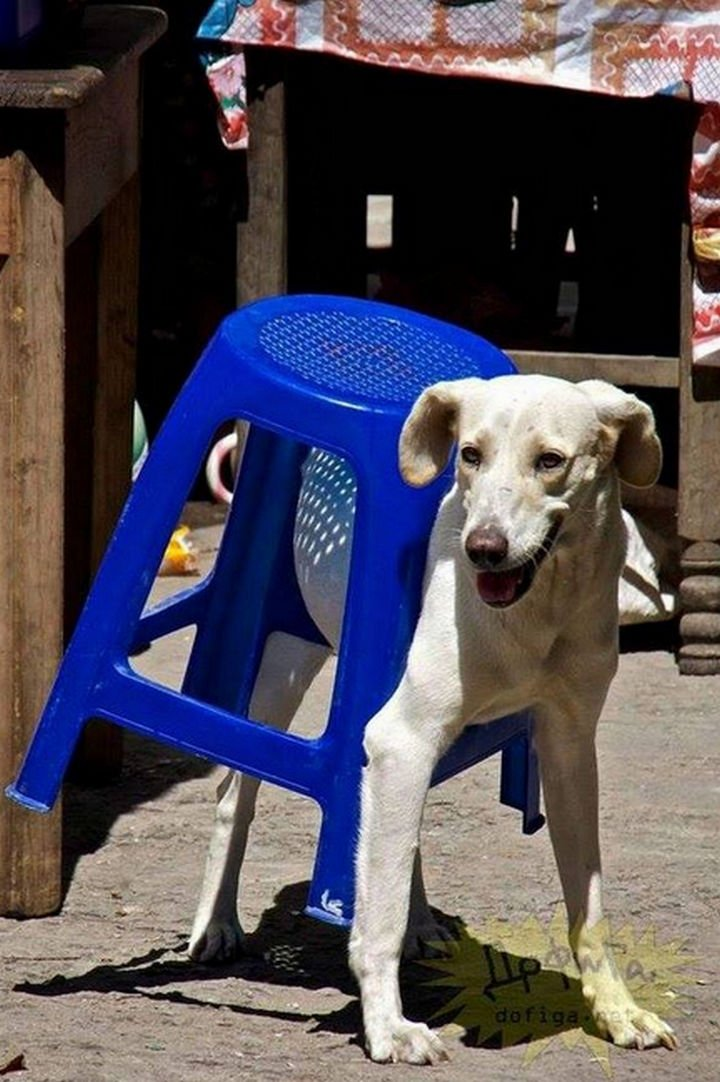 35 Photos of Animals Stuck in the Weirdest Places - There is where the missing table went!