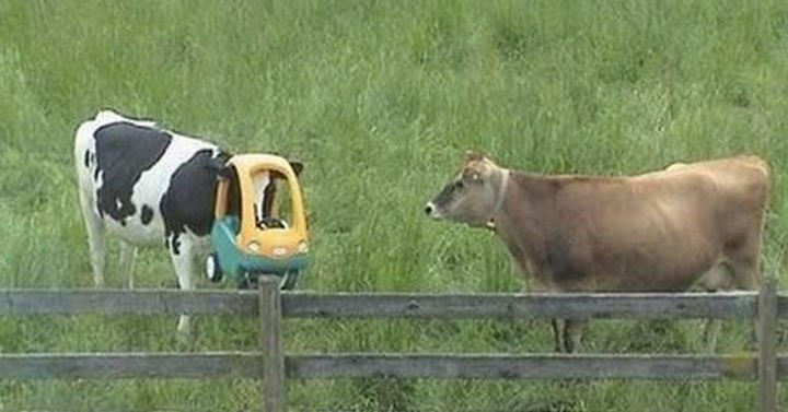 "35 Photos of Animals Stuck in the Weirdest Places - I wonder if the other cow is thinking, ""Where could I get one of those?"""
