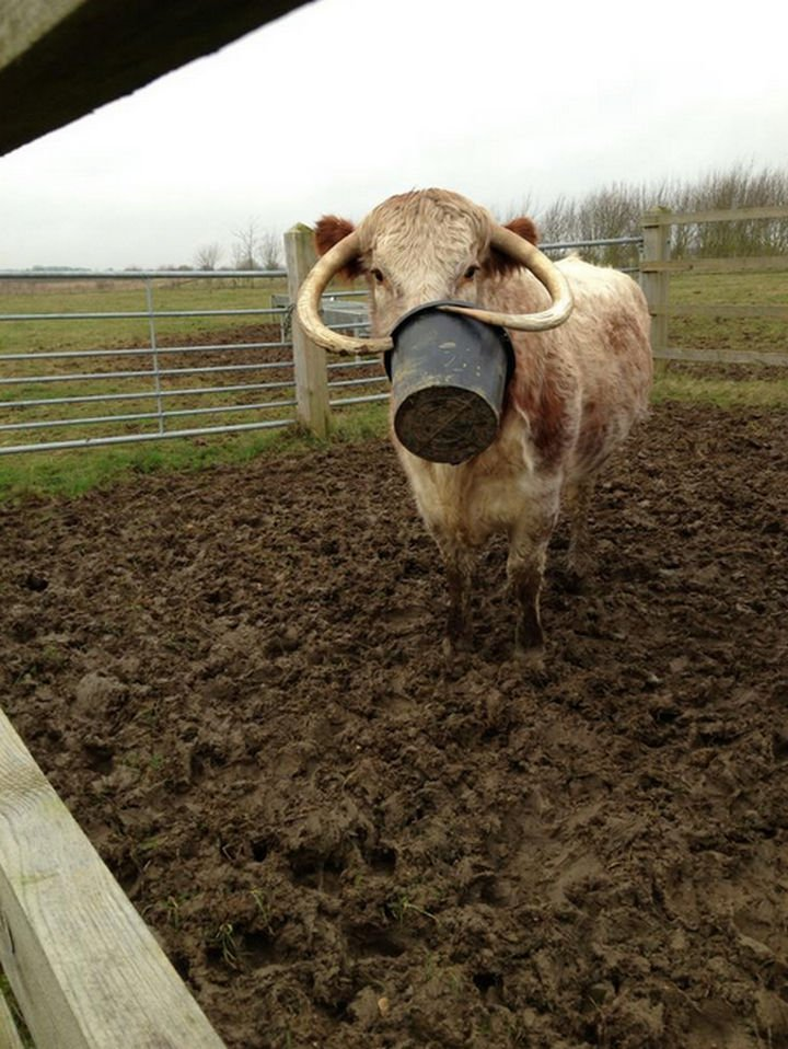 35 Photos of Animals Stuck in the Weirdest Places - Having horns can be such a pain sometimes.