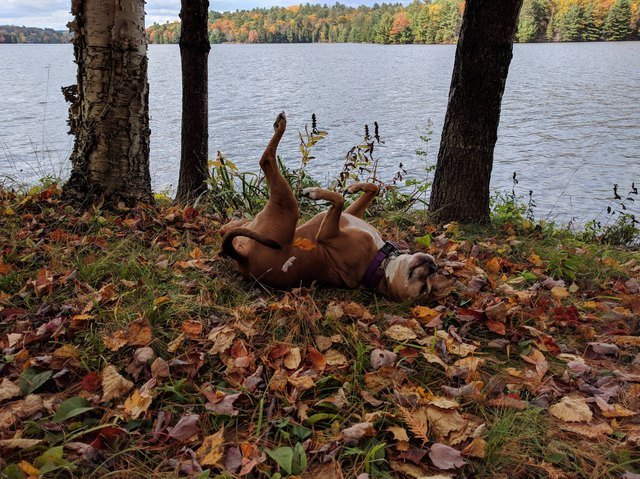 Dog rolling around in leaves.