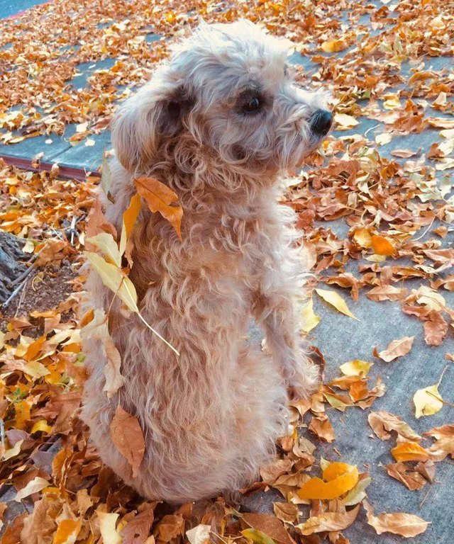 Dog with leaves stuck to its back.