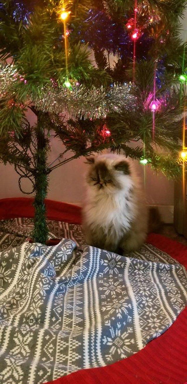Cat sitting under Christmas tree