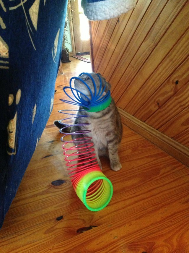 Cat with a slinky on its head.