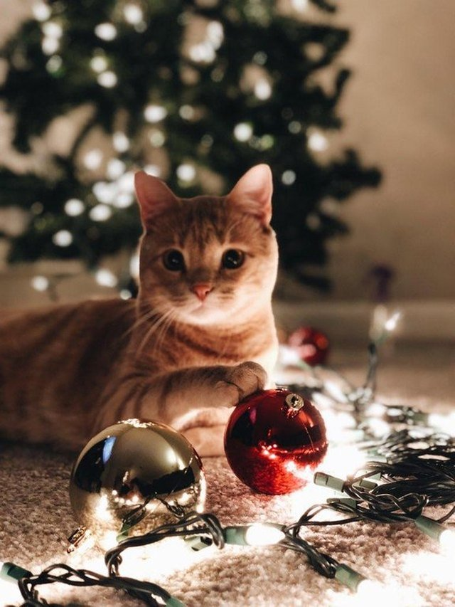 Cat sitting in front of Christmas tree
