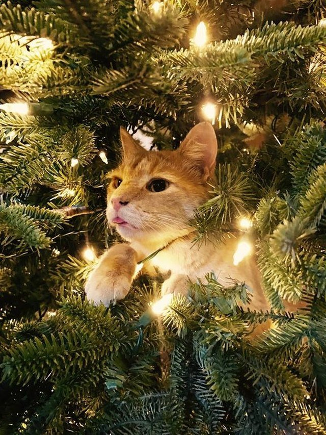 Cat in Christmas tree sticking its tongue out
