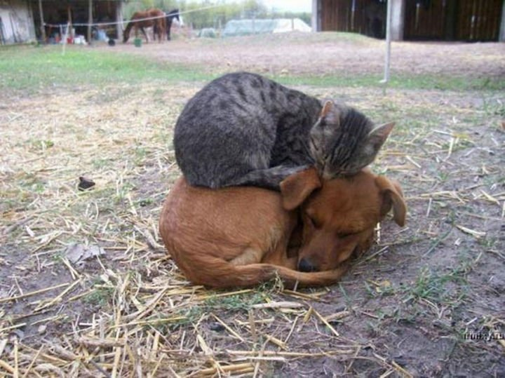 23 Dogs and Cats Sleeping Together - Taking a nap on the farm.