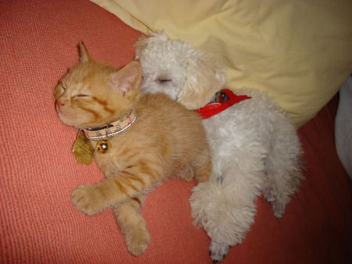 23 Dogs and Cats Sleeping Together - The perfect pillow.