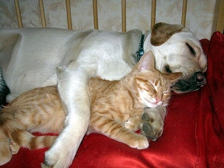 23 Dogs and Cats Sleeping Together - Snuggle buddies.