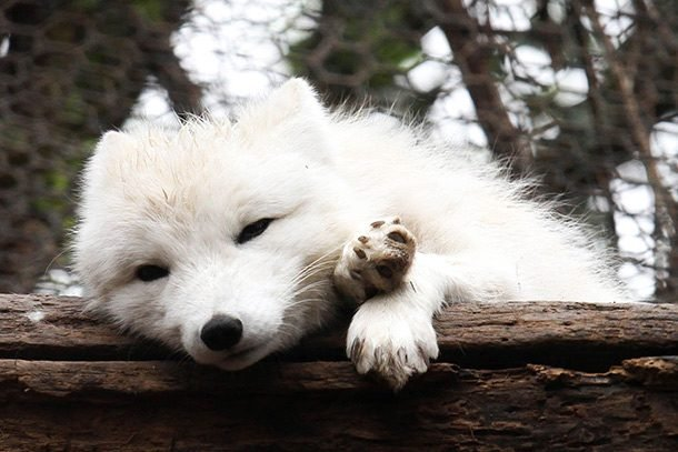 Sleepy_Arctic_Fox