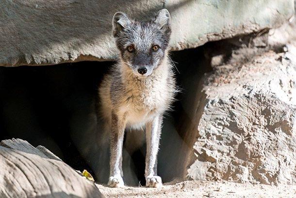 arctic fox den