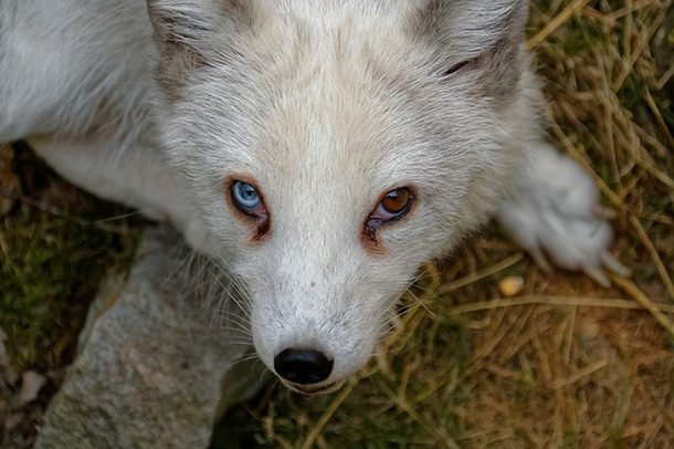 arctic fox eyes