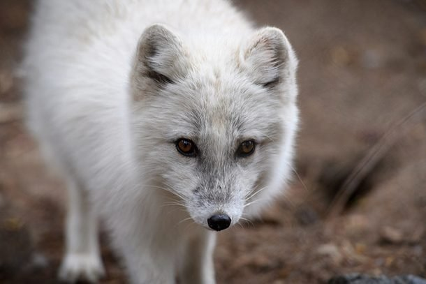 arctic fox looking