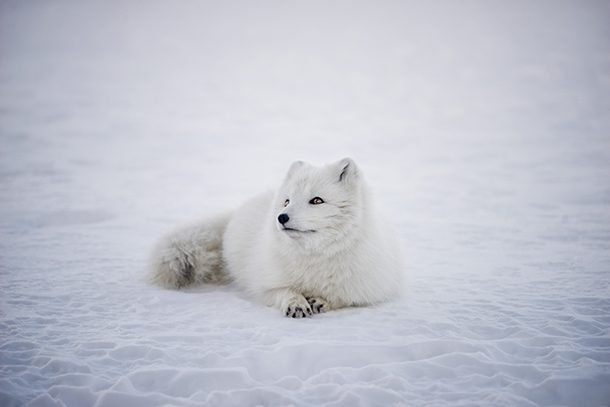 arctic fox lying