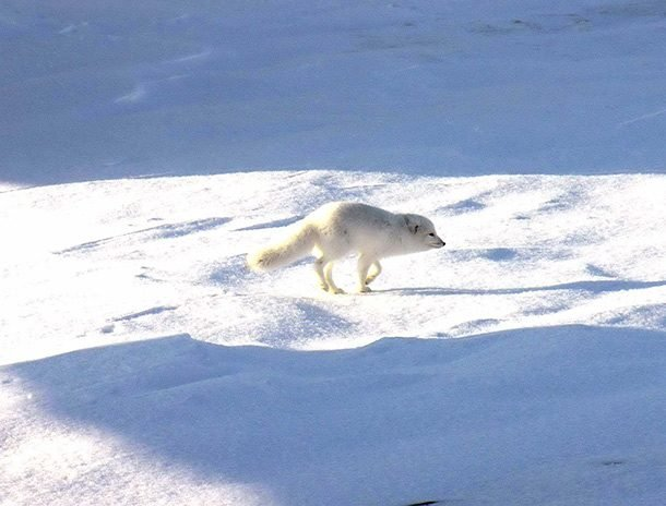 arctic fox walking