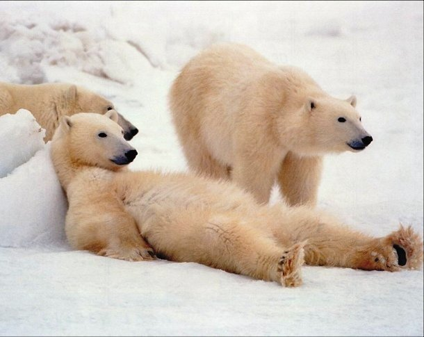 ayay.co.uk polar-bears-chilling-out