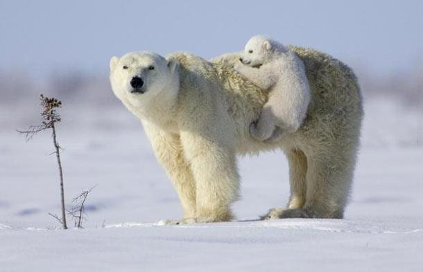 babies-dangerous-wild-animals.blogspot.com polar-bear mother and-cub