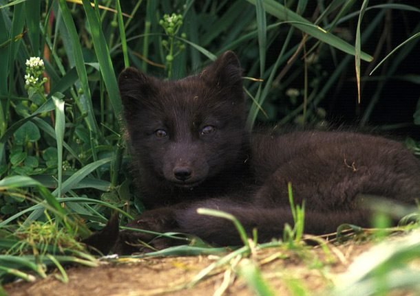 black arctic fox
