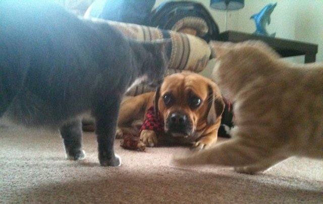 Dog looking scared by two cats.