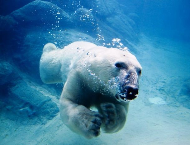 commons.wikimedia.org 1024px-Polar_bear_swimming_in_zoo