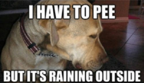 Image of sad dog and words saying I have to Pee but its raining outside