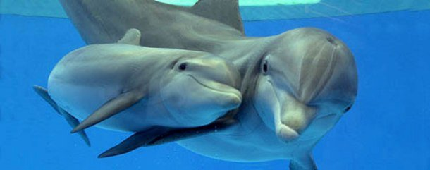 dolphinspedia.com bottlenose-dolphin1