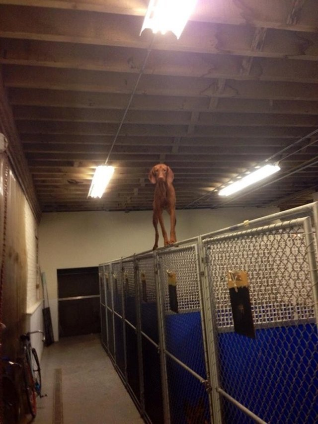 Dog standing on top of chain link fence.