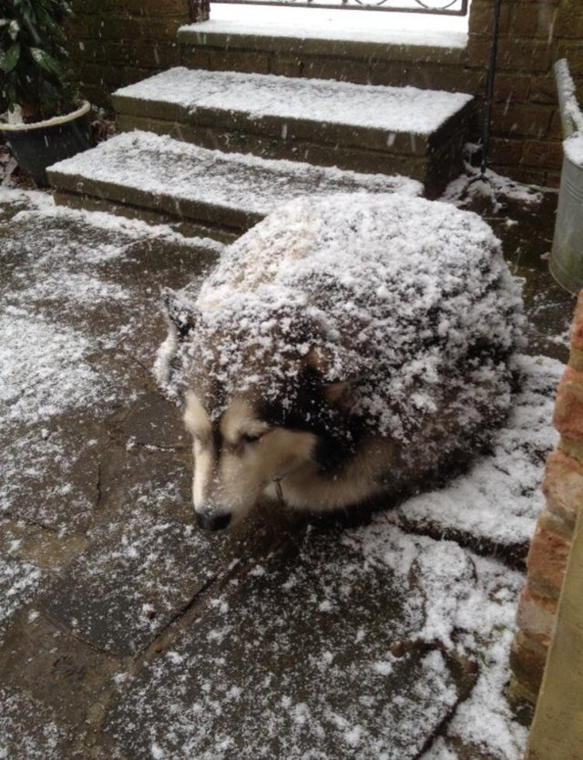 Curled up dog dusted with snow.