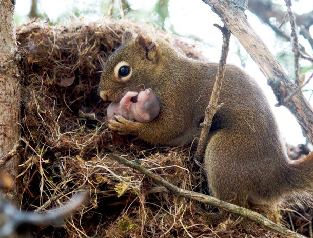 naturefiles.wordpress.com fig-1-gorrell-red-squirrel