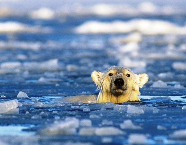 news.nationalgeographic.com polar-bears-swimming-longer-distances_37647_990x742