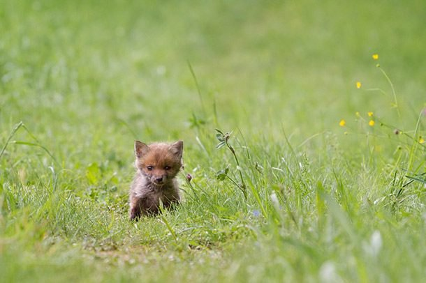 small arctic fox