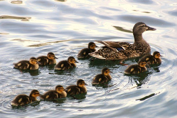www.deluxebattery.com animal-duck-parents-babies
