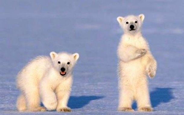25 Fascinating Little Known Facts About Polar Bears